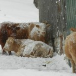 cattle winter cover