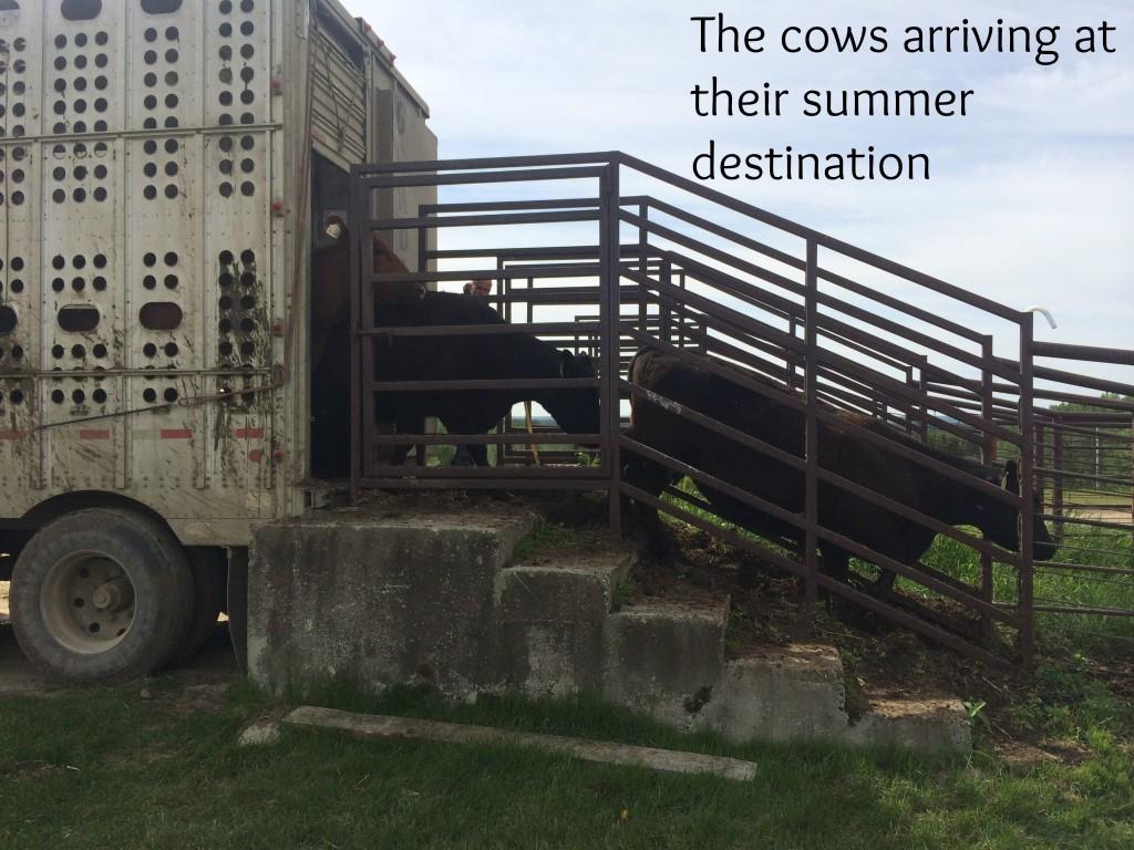 cows unloading