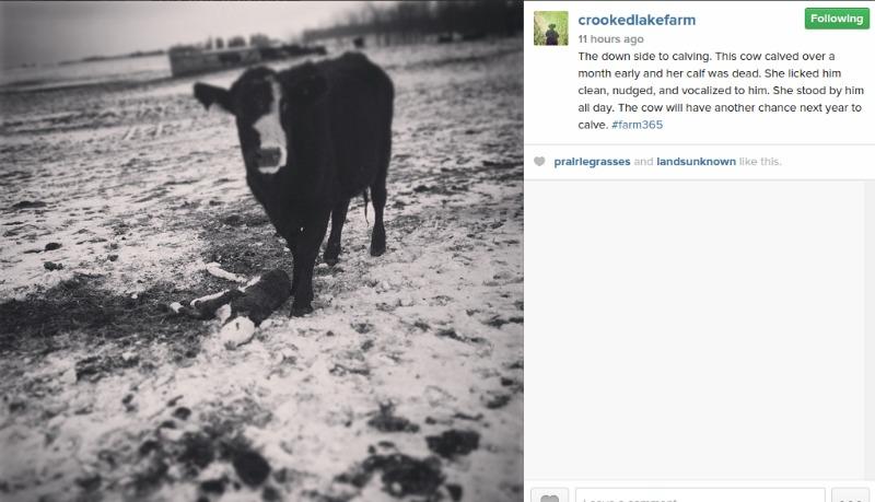 Crooked Lake Cows Calving
