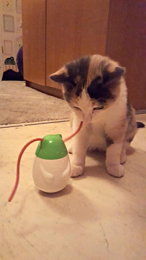 keeping kitten entertained 4