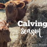 Calving Season ~ A Day in the Life of a Farmer #FarmVoices #OntAg