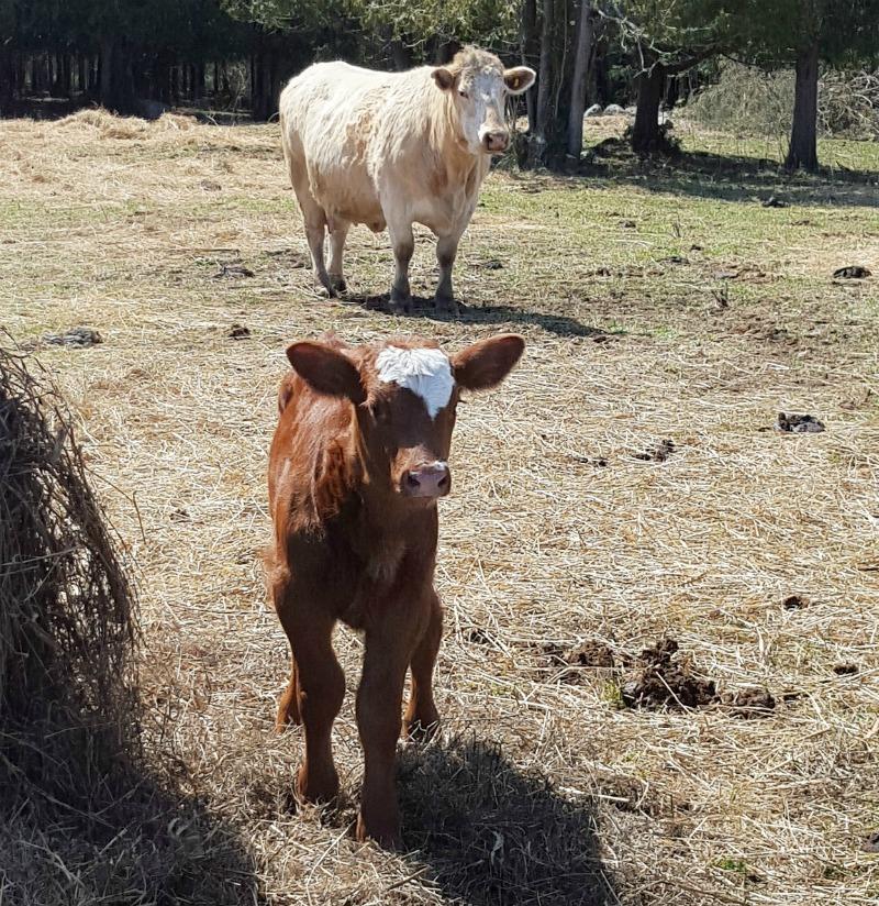 calving season 6